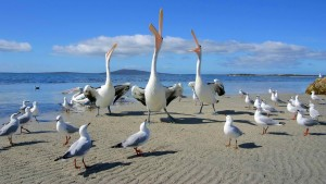 weird-seagull-pelican-funny-sand-sea-song-nature-wallpaper